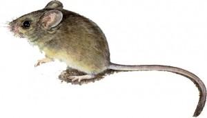 Pilliga_Mouse